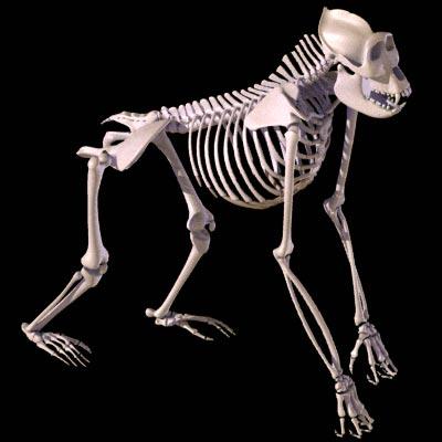 gorilla_skeleton_1