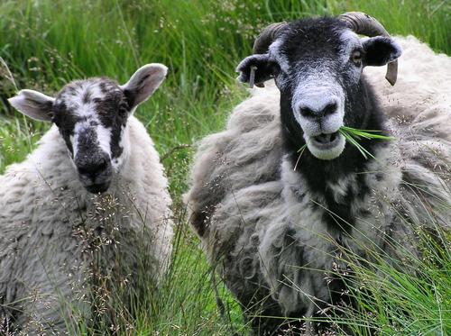 sheep and goatsehow com